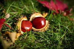 Fall still life. With chest nuts on grass Royalty Free Stock Photos