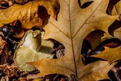 Fall-Stillleben von Blättern, von Pilzen und von Nüssen Stockfotografie