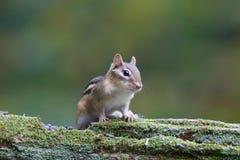 Fall-Streifenhörnchen Stockfotos