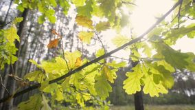 Fall sun oak leafs. Oak tree branch with backlit evening sun by fall, tracking camera movement stock video