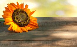 Fall Sunflower on a Rustic Wood Table with Green Foliage Bokeh Background with copy space.  It`s a horizontal with a side view