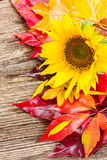 Fall sunflowers Stock Images