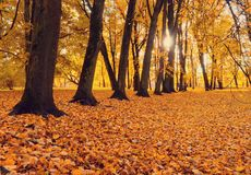 Fall sunny landscape scene of fall park in sunset time. Park fall trees with fallen lush foliage. Covering the ground royalty free stock photos