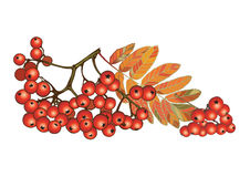 Fall sweet ash berry Royalty Free Stock Photos