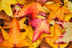 Fall Sweetgum Leaves Stock Photo