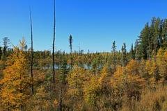 Fall Tamaracks and Pines Royalty Free Stock Images