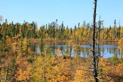 Fall Tamaracks and Pines Stock Photography