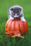 Fall Themed Kitten Image Royalty Free Stock Image