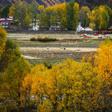 Fall for the Tibetan people in Tianyuan Geng. Fall in Tianyuan Geng for the Tibetan people, a few have all yellow poplar, like golden oceans stock image