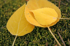 Fall time aspen leaves royalty free stock images
