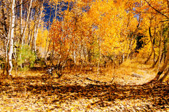 Fall time. Aspens changing color Royalty Free Stock Images