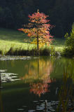 Fall Tree. A small tree, in fall, photograph taken contre-jour in the early morning light Stock Photos