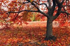 Fall tree Stock Photography