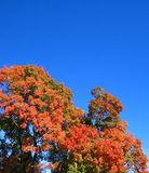 Fall Tree. Tree with leaves changing colors in the fall Stock Image