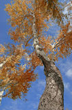 Fall Tree Royalty Free Stock Photography