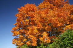 Fall tree. Bright autumn colors against a deep blue sky Royalty Free Stock Photos