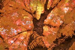 Fall Tree. Autumn Trees and Leaves in the fall Royalty Free Stock Photography