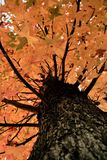 Fall tree. Autumn trees and leaves in the fall Stock Photos