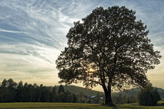 Fall tree. In the Bavarian Forest royalty free stock image