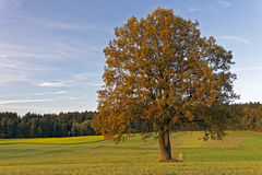 Fall tree. In the Bavarian Forest Royalty Free Stock Photos