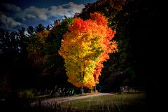 Fall Tree with Gold and Red Leaves Standing Alone. Highlighted by cloud filtered light Stock Photos