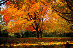 Fall Tree at High Park Royalty Free Stock Images