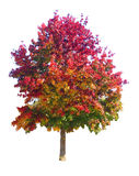Fall Tree Isolated. Real fall tree isolated from background Stock Photography