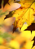 Fall tree leaf background. Fine image of yellow fall tree leaf background Royalty Free Stock Images