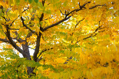 Fall tree leafs background. Colorful fall tree leafs background Stock Photo