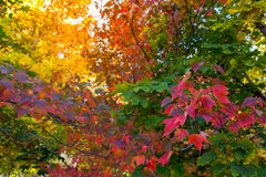 Fall tree leafs background. Colorful fall tree leafs background Royalty Free Stock Images