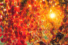 Fall tree leafs background. Colorful fall tree leafs background Royalty Free Stock Photos