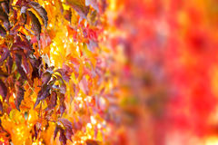 Fall tree leafs background. Colorful fall tree leafs background Stock Image