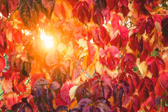 Fall tree leafs background. Colorful fall tree leafs background Royalty Free Stock Photography