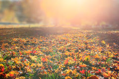 Fall tree leafs background. Colorful fall tree leafs on grass in morning sunlight background Stock Photo