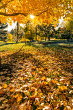 Fall tree leafs background. Colorful fall tree leafs on grass in morning sunlight background Royalty Free Stock Images