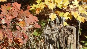 Fall Tree Leaves around stump at Winterplace Ski Resort. Dynamic backgrounds, themes, wallpaper. Organic Art all natural, no GMO. Winter, Summer, Fall, Spring stock video
