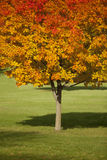 Fall Tree. With leaves changing colors Stock Photos