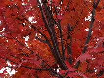 Fall Tree Leaves Leaf Winter Colors Royalty Free Stock Photo