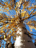 Fall tree. Fall leaves still on the tree with a bright blue sky Stock Photography