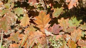 Fall Tree Leaves at Winterplace Ski Resort stock video