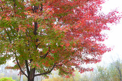 Fall tree. Fall true showing fight to stay beautiful Royalty Free Stock Photography
