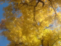 Fall tree. Yellow leaves on a tree from coloradosprings colorado in fall or autum Stock Images
