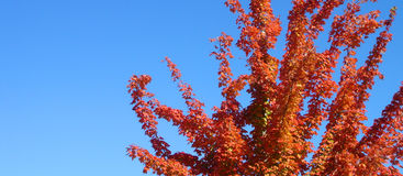 Fall tree5 Stock Image