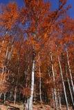 Fall trees Stock Photography