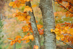Fall trees. Beech forest in the province of Girona, in Catalonia, Spain Stock Photography