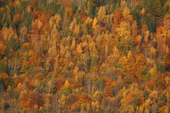 Fall Trees. Trees during the fall in full Autumn splendour, Perthshire, Scotland Stock Image