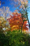 Fall Trees. Backlit trees in the fall Royalty Free Stock Photo