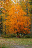 Fall Trees. Blazing fall colors of one tree stand out from the rest by a park trail Stock Images