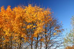 Fall trees. Top of vivid fall trees against beautiful cloudless blue sky Stock Photos