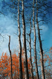 Fall Trees. Poplar or cotton wood trees in fall. Sharp focus over the entire image. Color saturation is pushed a little extra Royalty Free Stock Images